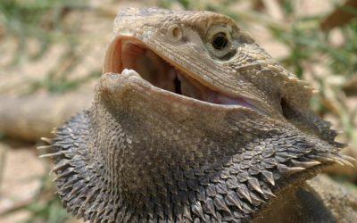 Artículo destacado en GBE: Las aves, las abejas y los dragones barbudos – Evolución de un sistema de determinación sexual